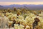 Cholla cacti, Joshua Tree National Park, California