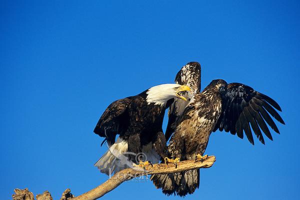 Bald Eagles (Haliaeetus leucocephalus)--mature and immature--squabbling over perch.  Alaska.