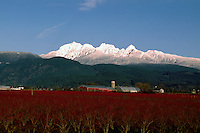 "Fraser Valley, Southwestern BC, British Columbia, Canada - Blueberry Farm and Snow Capped ""Golden Ears"" Mountains (Coast Mountains) in Golden Ears Provincial Park, Spring"