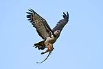 Female Harpy Eagle (Harpia harpyja) (Family Accipitridae) carrying prey (probably a skinned half-eaten Coati {Nasua nasua}) back to its nest. Pousada Currupira d'Araras, south west Brasil.