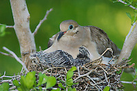 Mourning Dove, Zenaida macroura, adult in nest with young, Willacy County, Rio Grande Valley, Texas, USA