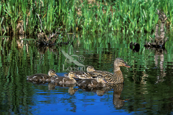 Mallard Duck family--hen with young ducklings (Anas platyrhynchos), Pacific NW.  June.
