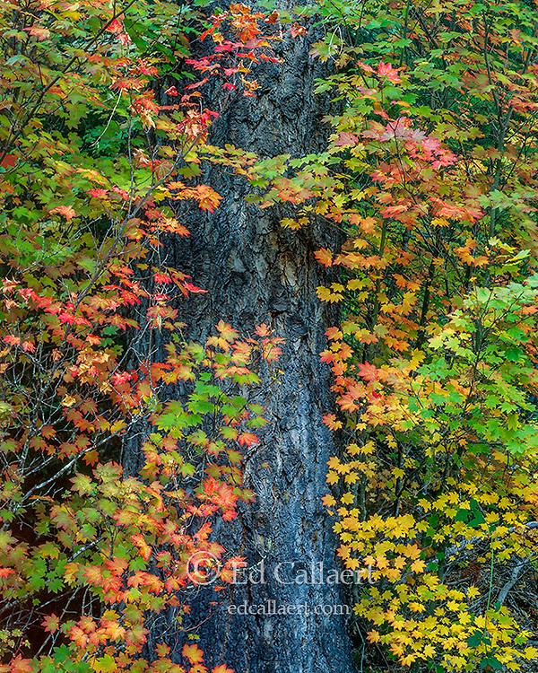 Vine Maple, Mountain Hemlock, Rogue River National Wild and Scenic River, Rogue River National Forest, Oregon