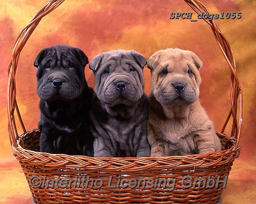 Xavier, ANIMALS, REALISTISCHE TIERE, ANIMALES REALISTICOS, dogs, photos+++++,SPCHDOGS1055,#a#, EVERYDAY