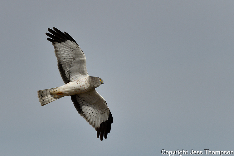 Northern Harrier, Texas roadside