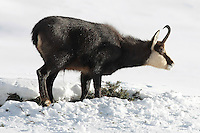 Side view of a chamois buck standing in the snow with snow around the mouth