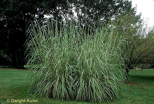 HS63-010c  Ornamental Grass - Ravenna - Erianthus ravennae...