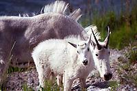 Mountain Goat Nanny and Kid (Oreamnos americanus), aka Rocky Mountain Goats, grazing at Mineral Lick, Yoho National Park, BC, British Columbia, Canada
