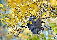 Hornets nest and fall colored aspens, Montana