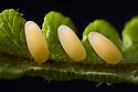 Eggs of Chrysolina coerulans beetle, Nomandy, France. July.
