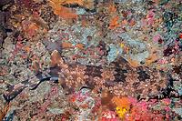well-camouflaged Japanese wobbegong, Orectolobus japonicus, Izu Ocean Park, Izu Peninsula, Japan, Pacific Ocean