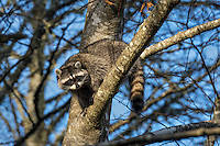 Raccoon (Procyon lotor) in red alder tree.  Pacific Northwest.  Fall.