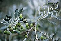 Europe/France/Corse/2A/Corse-du-Sud/Corse du Sud/ Sainte Lucie de Tallano: détail des olives dans les vergers de de Mr Don Jean Santa Lucia Président des oléiculteurs de l'Alta Rocca