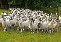 Mule ewes, Downton Castle, Ludlow, Shropshire.