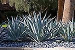 CENTURY PLANT, AGAVE AMERICANA, WASHED PEBBLES