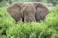 African bush elephant, Loxodonta africana, in the bush, Serengeti, Tanzania, Africa