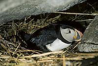 MC38-002c  Atlantic Puffin - sitting on nest under rocks at Machias Seal Island, Bay of Fundy - Fratercula arctica