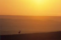 Bull elk on prairie ridge at sunrise with Great Plains in background, Wind Cave National Park, South Dakota, AGPix_0276.
