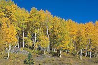 Fall Colored Aspens, Highway 17 between Chama NM and Colorado