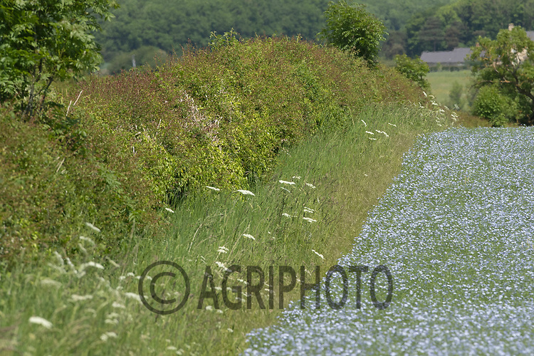 5-6-2021 Field margin  in a flowering crop of linseed <br /> ©Tim Scrivener Photographer 07850 303986<br />      ....Covering Agriculture In The UK....