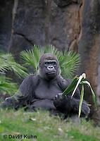 0210-08mm  Feeding Western Lowland Gorilla, Gorilla gorilla gorilla © David Kuhn/Dwight Kuhn Photography