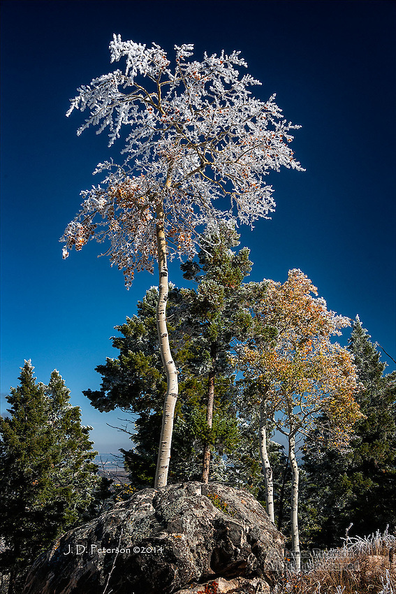 Frosted Aspen, Ski Mountain, Colorado