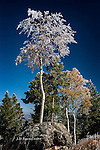 Frosted Aspen, Ski Mountain, Colorado