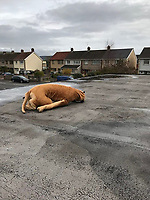 "Pictured: The soft toy which locals thought it was a dead dog on the roof of the Elim Pentecostal Church in Port Talbot, Wales, UK.<br /> Re: A ""dead dog"" on a church roof in Port Talbot, Wales, turned out to be a soft toy.<br /> A concerned local spotted the limp object on top of the Elim Pentecostal Church and called the RSPCA.<br /> When inspector Nigel Duguid arrived at the scene, feared the worse, but he was relieved to discover that it was actually a cuddly toy.<br /> Mr Duguid, who has worked for the RSCPA for 37 years, said: ""I must admit it was such a relief"".<br /> ""From a distance it was difficult to see what was on the roof,"" he said.<br /> ""It is good to know that there are people out there who are looking out for animals, as our caller had no idea that it wasn't a real dog."""