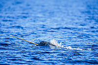 narwhal, or narwhale, Monodon monoceros, Canada, Arctic Ocean