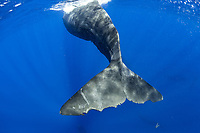 sperm whale, Physeter macrocephalus, Dominica, Caribbean Sea, Atlantic Ocean, photo taken under permit #P 351/12 W-2