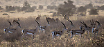 Kenya, Chyulu Hills National Park, Grant's gazelle (Nanger granti) and common eland (Tragelaphus oryx)
