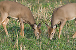 White-tailed deer (Odocoileus virginianus) fawns grazing in a food plot