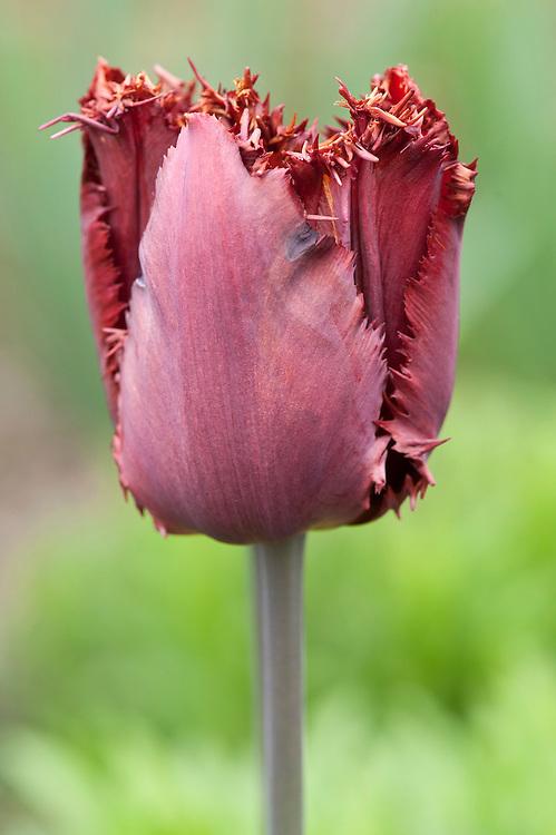 Tulipa 'Black Jewel', mid April. Fringed Group.