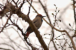 Northern Flicker, Woodpecker, Sepulveda Wildlife Refuge, Southern California