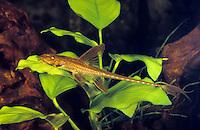 Hexenwels, Harnischwels, Rineloricaria spec., whiptail catfish, Red Lizard Catfish, Harnischwelse, Loricariidae