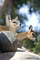 0604-1108  Klipspringer (Rock Jumper Antelope), Small Antelope on Boulders, Oreotragus oreotragus  © David Kuhn/Dwight Kuhn Photography