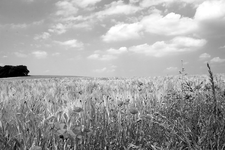 Europa, DEU, Deutschland, Nordrhein Westfalen, NRW, Rheinland, Niederrhein, Toenisberg, Wolfsberg, Agrarlandschaft, Feld, Acker, Getreide, Gerste, Anbau, Himmel, Wolken, Cumuluswolken, Mohn, Mohnbluete, Klatschmohn, Blueten, Papaver rhoeas, Kategorien und Themen, Landwirtschaft, Landwirtschaftlich, Agrar, Agrarwirtschaft, Erzeugung, Landwirtschaftliche Produkte, Natur, Naturfoto, Naturfotos, Naturfotografie, Naturphoto, Naturphotographie, Landschaft, Landschaften, Landschaftsfoto, Landschaftsfotografie, Landschaftsphoto, Landschaftsphotographie<br /> <br /> <br /> [Fuer die Nutzung gelten die jeweils gueltigen Allgemeinen Liefer-und Geschaeftsbedingungen. Nutzung nur gegen Verwendungsmeldung und Nachweis. Download der AGB unter http://www.image-box.com oder werden auf Anfrage zugesendet. Freigabe ist vorher erforderlich. Jede Nutzung des Fotos ist honorarpflichtig gemaess derzeit gueltiger MFM Liste - Kontakt, Uwe Schmid-Fotografie, Duisburg, Tel. (+49).2065.677997, <br /> archiv@image-box.com, www.image-box.com]