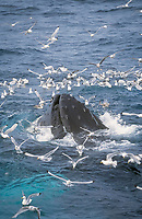 Humpback whale, Megaptera novaeangliae, Bubble net feeding with bird flock, Bear Island, Arctic, Barents sea, North atlantic