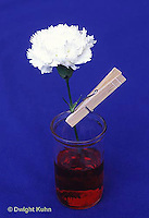 TT19-009d  Plant Experiment - carnation in colored water to show that water travels up the stem