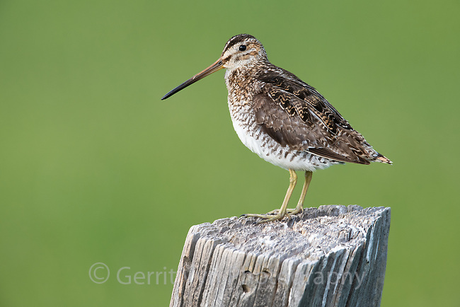Wilson's Snipe (Gallinago delicata). Lake County, Oregon. June.