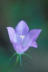A Harebell blossom and pistil