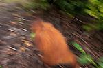 Bornean Orangutan (Pongo pygmaeus wurmbii) - juvenile in moving blur