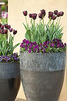 Hollande, région des champs de fleurs, Lisse, Keukenhof, tulipes et pensées poupres dans de grandes poteries // Holland, Lisse, Keukenhof, purple pansies and tulips in large pots.