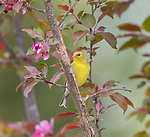 Female American goldfinch in a flowering crab apple tree.