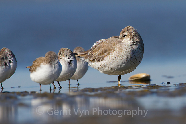 Red Knot (Calidris canutus) in basic plumage roosting with a flock of Western Sandpipers (Calidris mauri) on barrier island tidal flats. Terrebonne Parish, Louisiana. October.