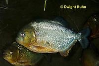 TP01-500z Red-bellied Piranha, Pygocentrus nattereri