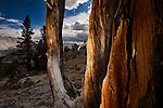 Foxtail Pine, John Muir Wilderness, Sierra Nevada Mountains