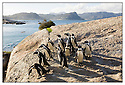 Afrique du Sud<br /> Cap de Bonne Espérance<br /> Manchots