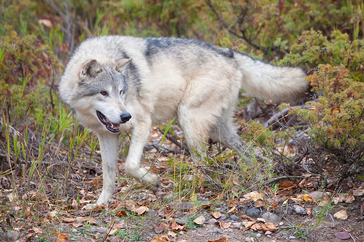 Grey Wolf walking out of the brush - CA