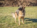 German shepherd dog.